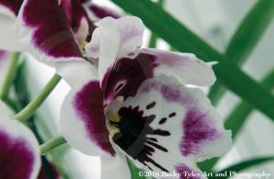 miltonia-orchid-purple
