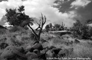capital-reef-trees