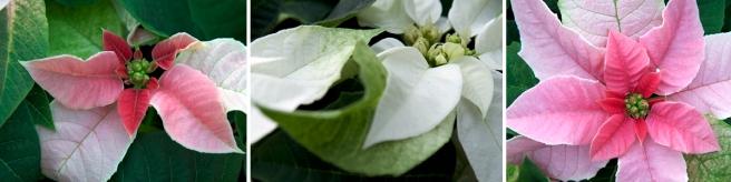 Poinsettia collage