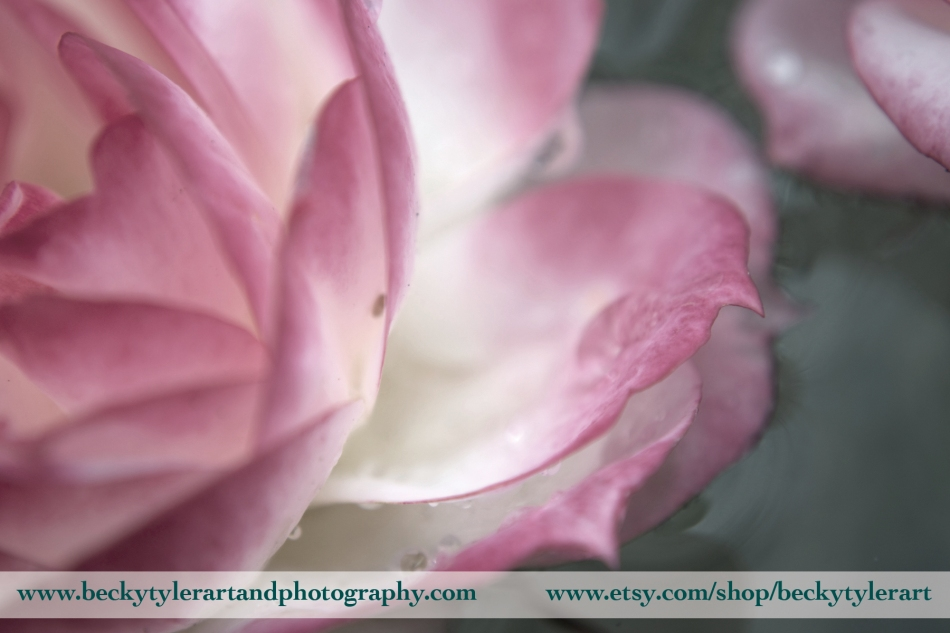 2013 Pink rose 2