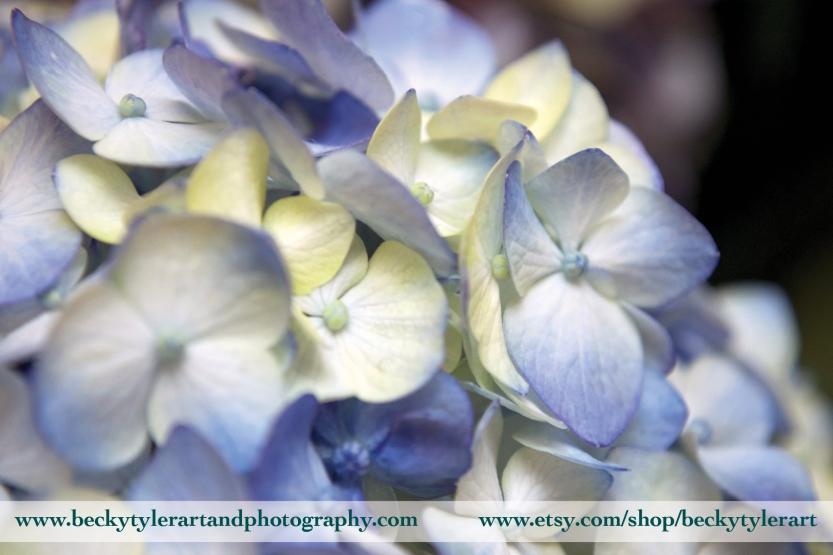 2018 Hydrangea Blue