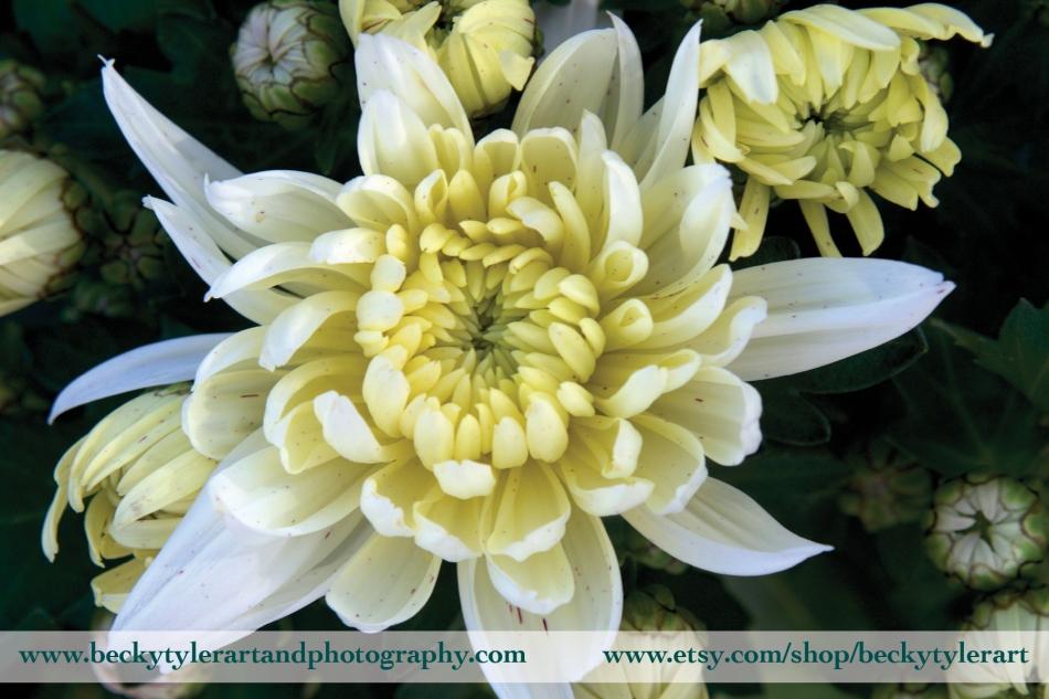 Chrysanthemum yellow 3