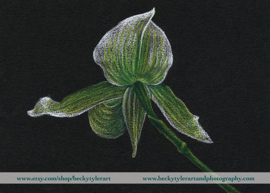 Paph Orchid Drawing