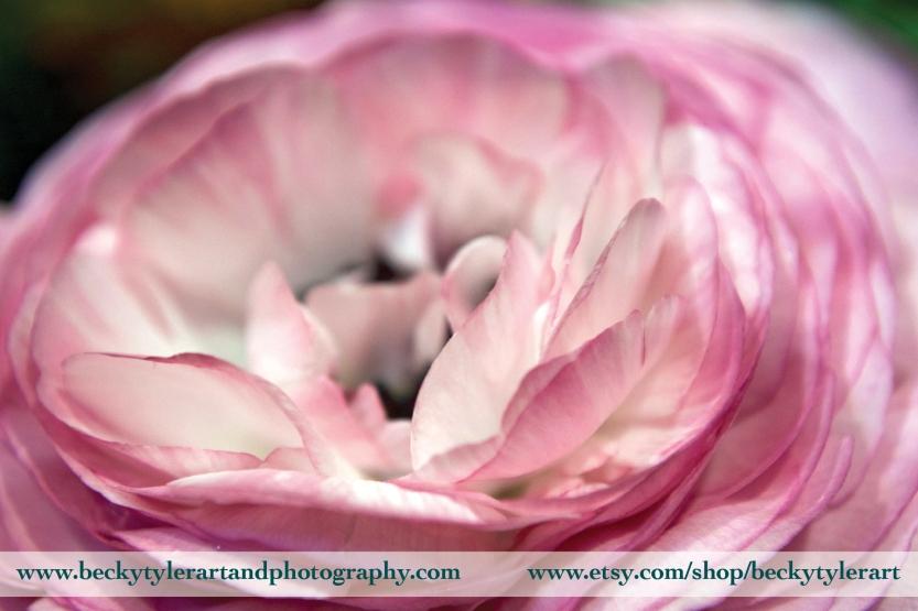 2018 Ranunculus Pink
