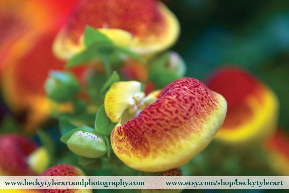 2019 Calceolaria 3
