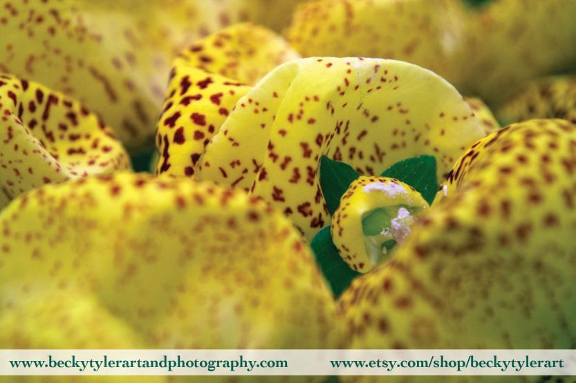 2019 Calceolaria 5