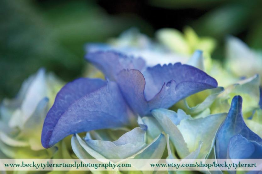 2019 Hydrangea Blue 2