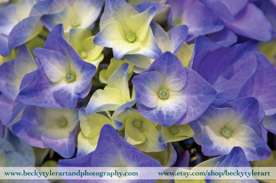 2019 Hydrangea Blue