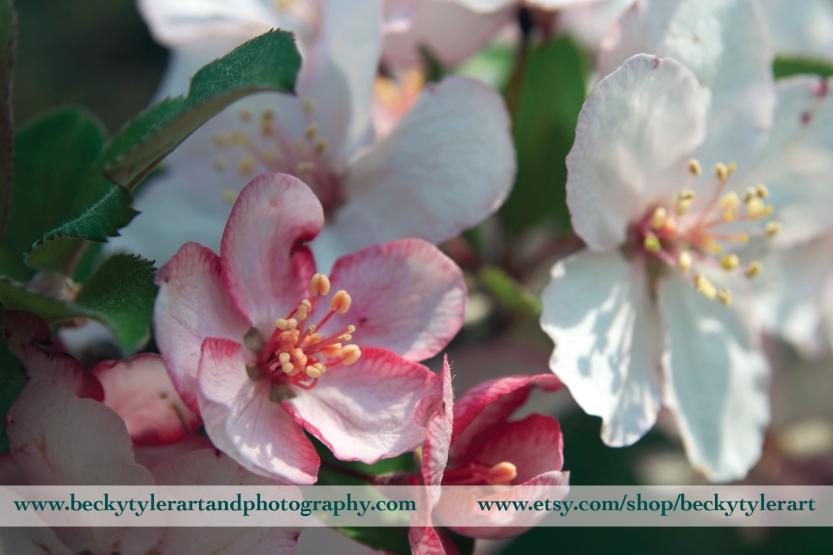 2016 cherry blossom