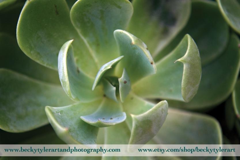2017 Succulent Echeveria 3
