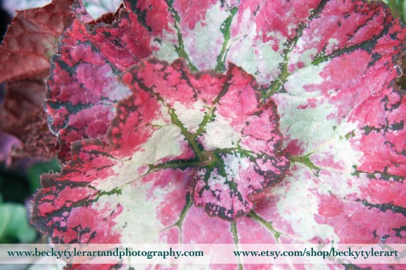 2018 Begonia Leaf