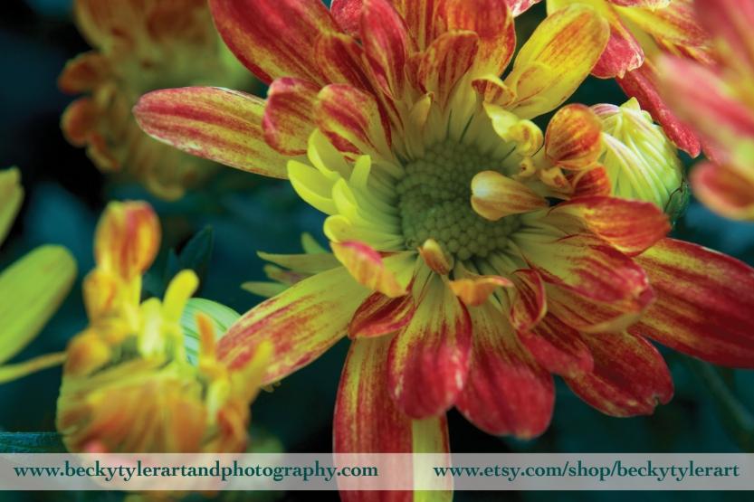 2018 Chrysanthemum Red 7