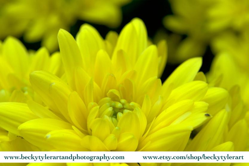 2018 Chrysanthemum Yellow 10