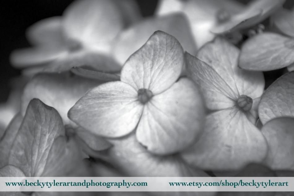 2018 Hydrangea Black and White