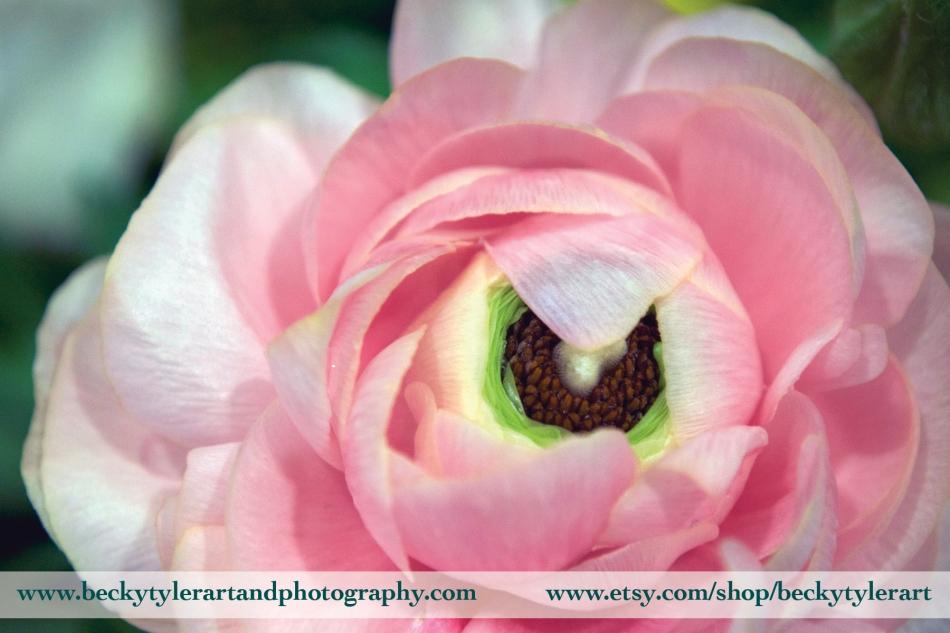 2018 Ranunculus Pink 2