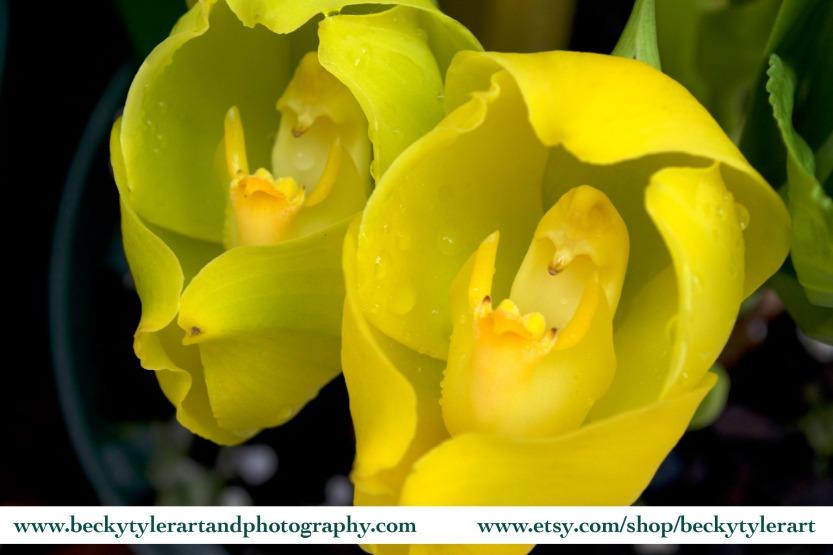 2019 Anguloa Orchid