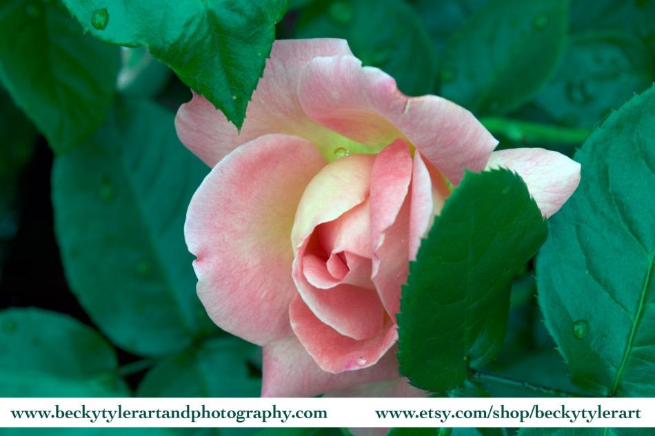 2019 Rose Pink 2